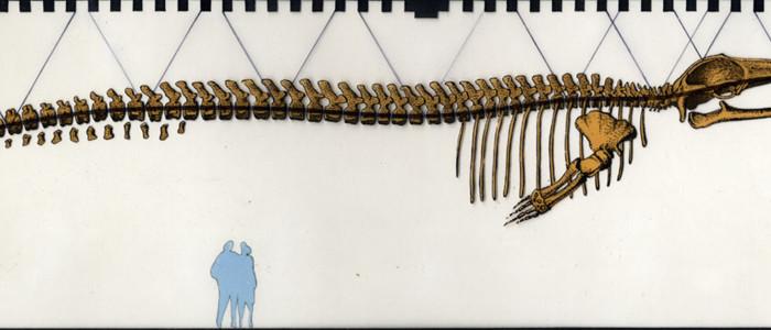 Scheletro balenottera